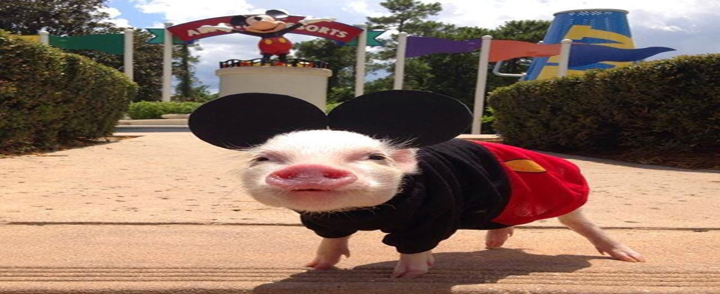 Adopt Teacup Pigs for their Bright Future